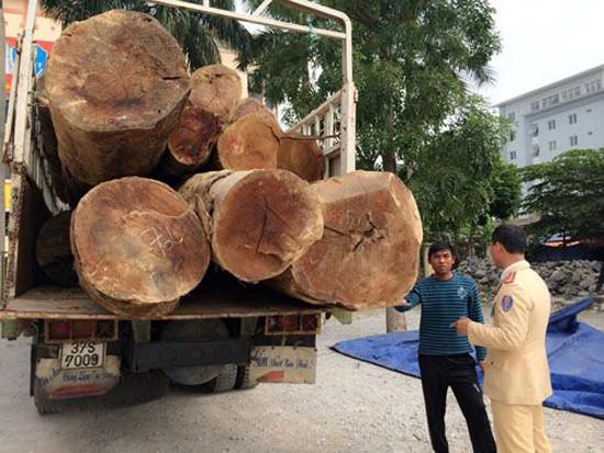 Bắt giữ hai xe tải chở 73 tấn gỗ táu không rõ nguồn gốc