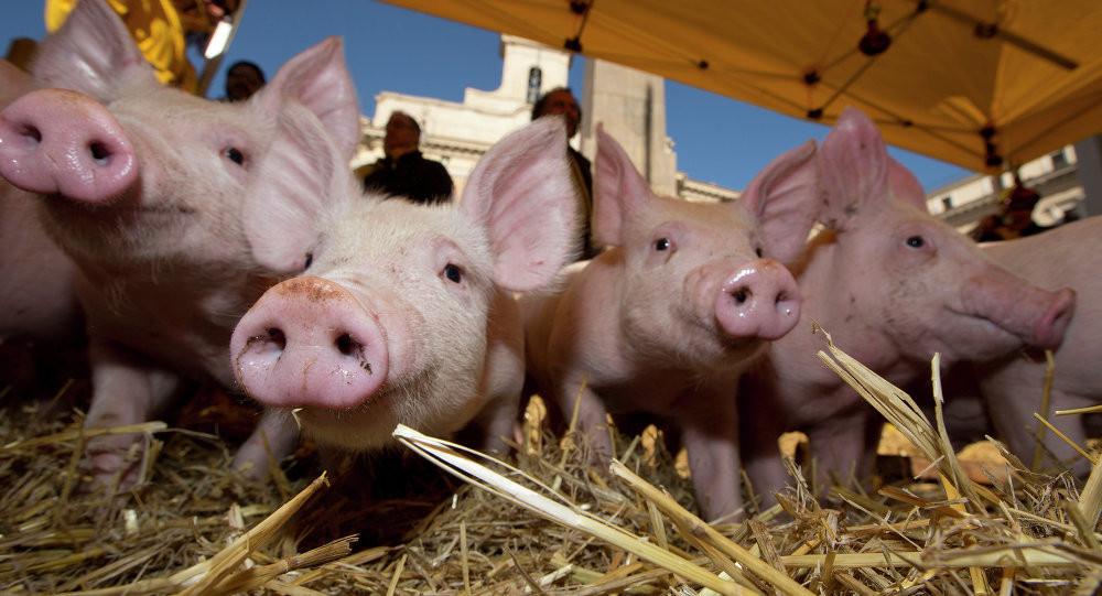 """Pháp: Những chú lợn """"khóc ròng"""" vì lệnh phản trừng phạt của Nga"""