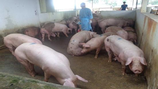 Xử phạt một hộ chăn nuôi heo sử dụng chất tạo nạc Salbutamol