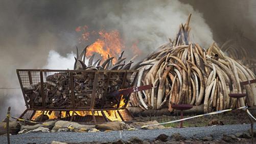 Singapore tiêu hủy lượng ngà voi trị giá trên 9 triệu USD