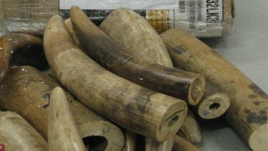 Nhóm bị cáo lĩnh án 32 năm tù vì buôn bán hơn 200 kg ngà voi