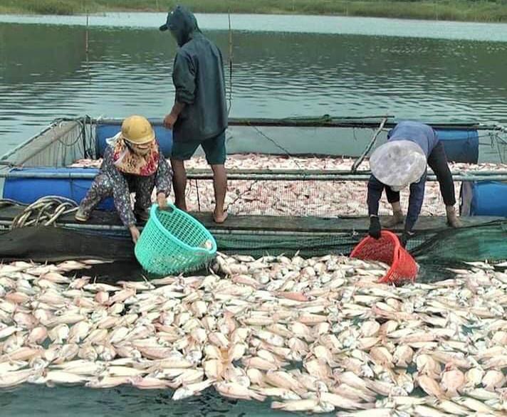 Cá chết hàng loạt do bão số 5, dân thiệt hại hàng tỷ đồng
