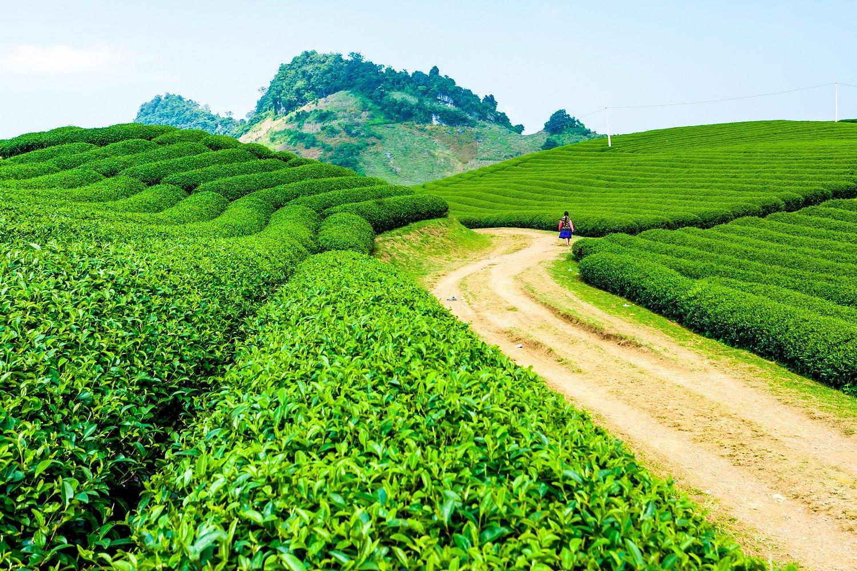 vung-nguyen-lieu-th-true-tea.jpg