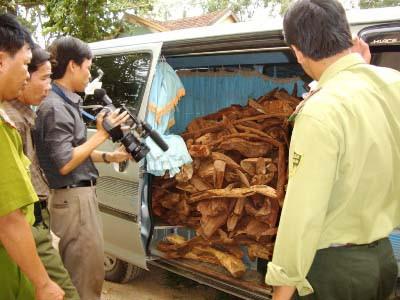 Quảng Bình: Lại bắt được hơn 300kg gỗ sưa khai thác trái phép