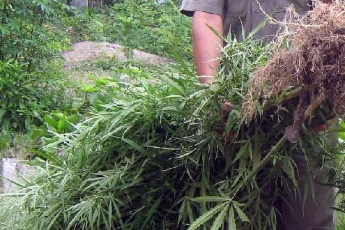 Thu giữ hơn 1 tấn cần sa trồng trái phép