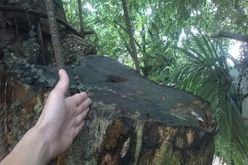 Dân trồng cây, chính quyền bán và những lùm xùm về gỗ sưa ở Hà Nội