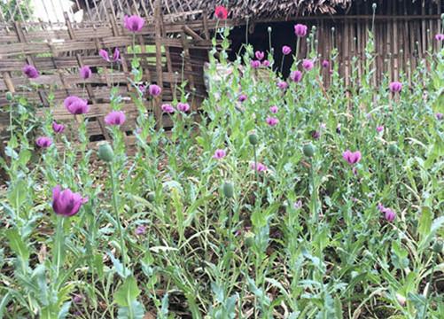 Phát hiện 2 gia đình trồng thuốc phiện tại vườn nhà