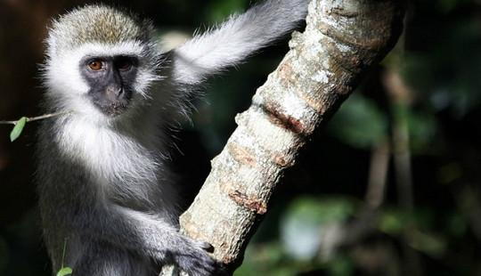 """Hệ thống điện trên cả nước Kenya bị một con khỉ """"đánh sập"""""""