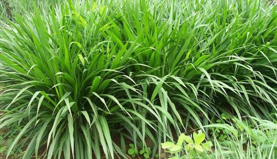 Kỹ thuật bón phân hữu cơ MV-L cho cây cỏ voi đã cho thu hoạch