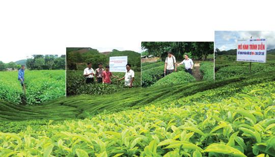 Kỹ thuật bón phân hữu cơ MV-L cho cây chè đã cho thu hoạch