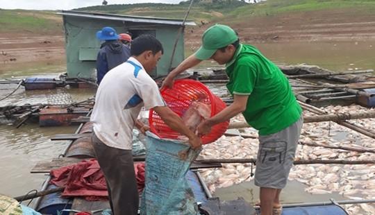 Kon Tum: UBND tỉnh chỉ đạo khẩn vụ gần 100 tấn cá chết bất thường