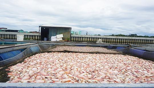 60 tấn cá chết bất thường chỉ sau một đêm