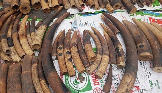 Hơn 2 tấn ngà voi và vảy tê tê ngụy trang trong các thùng gỗ gõ