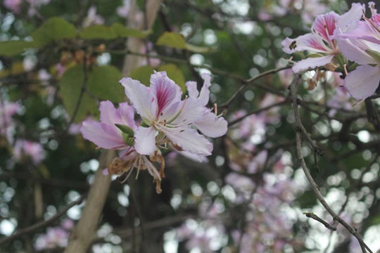 300 cây hoa ban của núi rừng Tây Bắc sẽ được trưng bày tại Bảo tàng Hà Nội