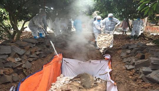 Nhanh chóng xử lý ổ dịch tả lợn Châu Phi tại Đông Triều