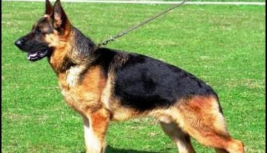 Chó nghiệp vụ phát hiện chất nghi ma túy