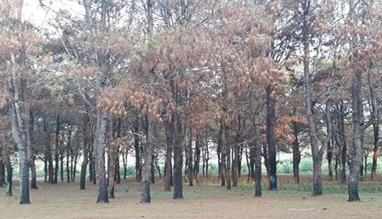 Vụ rừng thông cổ thụ bị bức tử: Xác định gần 1.000 cây bị xâm hại