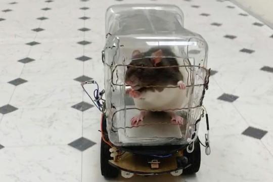 Dạy chuột lái xe