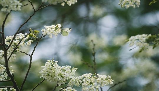 Hà Nội – Ngây ngất sắc trắng hoa sưa