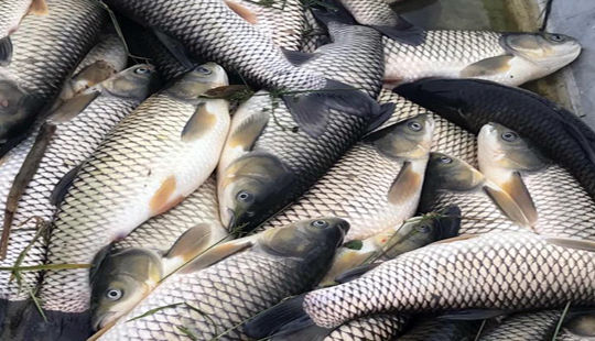 Thanh Hóa: Cá chết bất thường, nổi trắng sông Chu