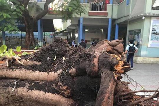 Vụ cây phượng bật gốc: 1 học sinh đã tử vong, 3 em khác bị thương nặng