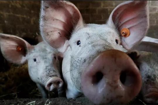 Sau vaccine COVID-19, Nga phát triển vaccine ngừa dịch tả lợn châu Phi