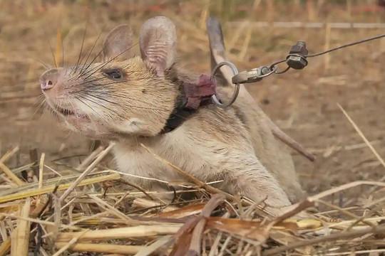 Chú chuột dò mìn đầu tiên trên thế giới được tặng huy chương vàng