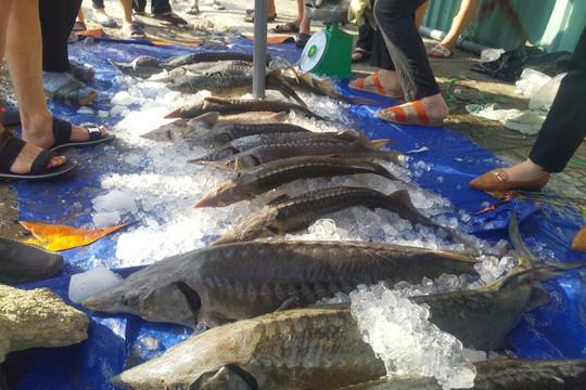 Tổng cục Hải quan siết quản lý nhập khẩu cá tầm để bảo vệ người tiêu dùng