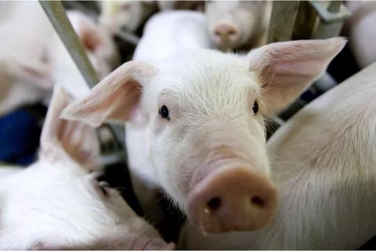 Philippines tuyên bố chế độ thảm họa quốc gia do dịch tả lợn châu Phi