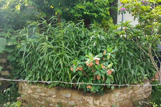 Mua cần sa về trồng tại vườn nhà, chuẩn bị thu hoạch thì bị phát hiện