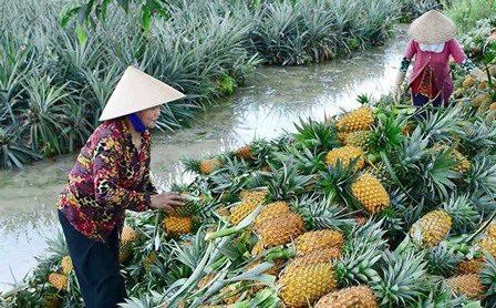 Tiền Giang: Tạo điều kiện cho người dân thu hoạch và mua bán khóm