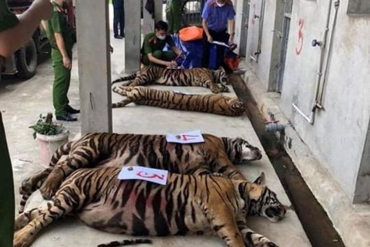 8/17 con hổ được giải cứu đã chết: Cần làm rõ nguyên nhân và trách nhiệm