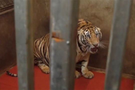 """Chuyên gia bảo tồn động vật hoang dã: """"Hổ nuôi nhốt không thể thả về tự nhiên"""""""