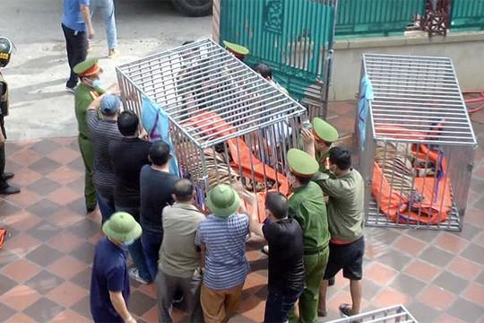 Khởi tố, bắt tạm giam người nuôi nhốt đàn hổ trong nhà