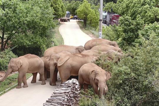 Trung Quốc sơ tán hơn 150.000 người do voi di cư