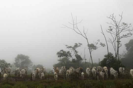 """Nhập 14.000 con bò khi bệnh """"bò điên"""" tái xuất ở Brazil: Cần quản lý chặt chẽ"""