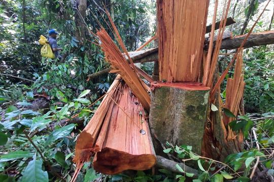 Quảng Nam: Khởi tố vụ phá rừng nghiêm trọng tại Bắc Trà My
