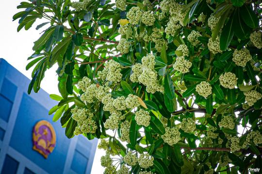 Hoa sữa khoe sắc nồng nàn mùa thu Hà Nội