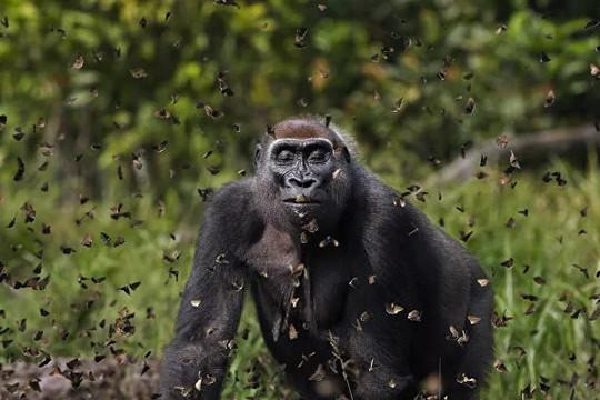 """""""Khỉ đột Malui"""" đi qua đám mây bướm giành chiến thắng cuộc thi ảnh The Nature Conservancy"""